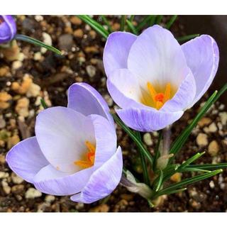 秋植え(~12月下旬)の白色系青 珍しい原種系クロッカスの球根(その他)
