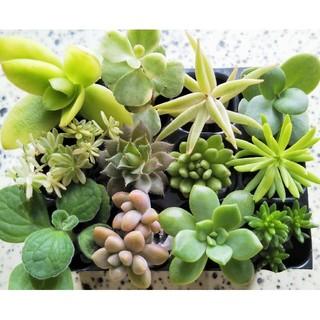 多肉植物 カット苗 寄せ植え 初心者向け(その他)