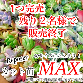ルポゼ 多肉植物 おまかせカット苗MAXパック(その他)