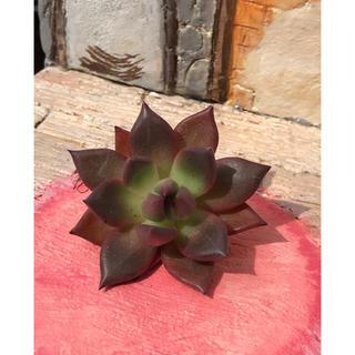 多肉植物   エケベリア  コンコルド カット苗‼️ 5cm