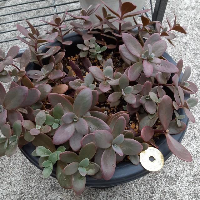 多肉植物 ファイヤークラッカー カット苗 ハンドメイドのフラワー/ガーデン(その他)の商品写真