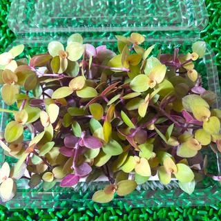 多肉植物☆桜色カリシア100カット以上‼️