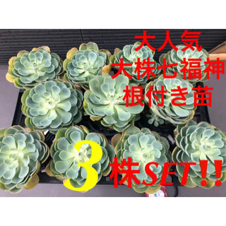 【即完売します❗️③株SET❗️大人気七福神 シチフクジン 大株 根付き苗】(その他)
