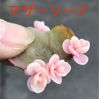 ★★マザーリーフ★奇跡の葉❤️★親葉2枚★妊活に♪♪★多肉植物(その他)