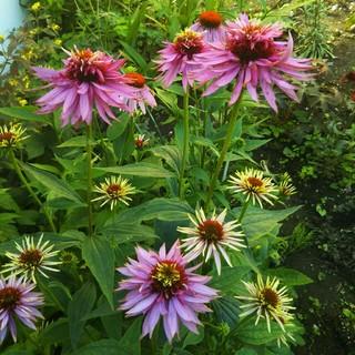 八重咲きエキナセアの種  10粒(その他)