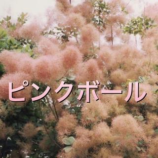 スモークツリー苗 ピンクボール苗木(その他)