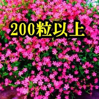 シレネ・ピンクパンサーの種 200粒以上 フクロナデシコ 花の種 今が蒔き時!(その他)