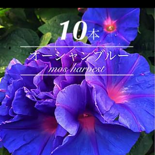 10苗◆琉球朝顔◆オーシャンブルー◆ちゅらブルー◆【発根元気な苗】(その他)