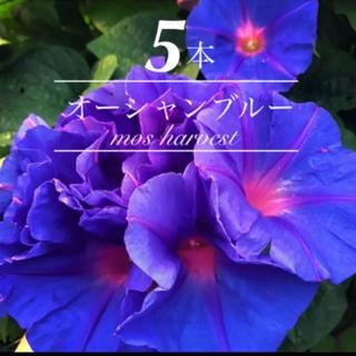 5苗◆琉球朝顔◆オーシャンブルー◆ちゅらブルー◆【発根元気な苗】(その他)