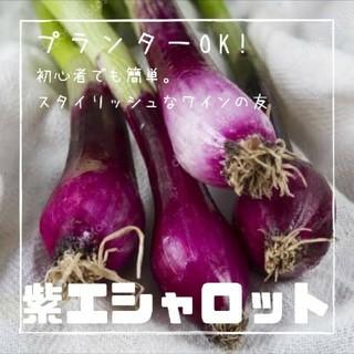野菜【紫エシャロット】種子20粒(その他)