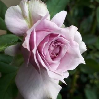ノワ・ルーナ様確認用 ラベンダー色の美しいバラ5株(その他)