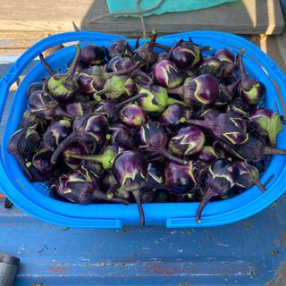 山形県置賜伝統野菜 農家が自家用に作った薄皮丸ナス 安心安全 1kg以上(野菜)