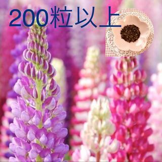 豪華さが魅力♡『ルピナス』花の種100→150粒(その他)