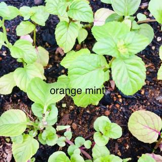 オレンジミント根付き抜き苗1本(プランター)