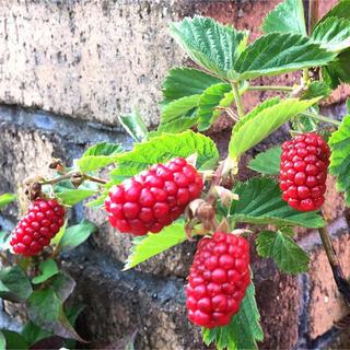 秋植え ブラックベリー ポリフェノールたっぷり フルーツ苗 新芽(その他)