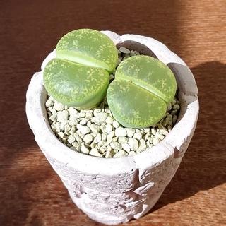 多肉植物 リトープス ☆ 黄微紋玉 ☆ お得な2個セット 抜き苗にてお届け♪(その他)