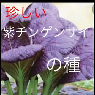 珍しい 紫チンゲンサイ 野菜の種 20個(野菜)