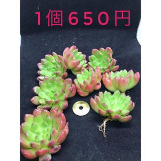 【限定15個】多肉植物 エケベリア ピンクルルビー 1個650円(その他)