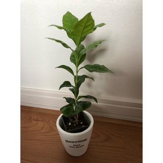 観葉植物 コーヒーの木 抜き苗 苗木 新芽 葉っぱツヤツヤ