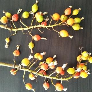沖縄産月桃の種(その他)