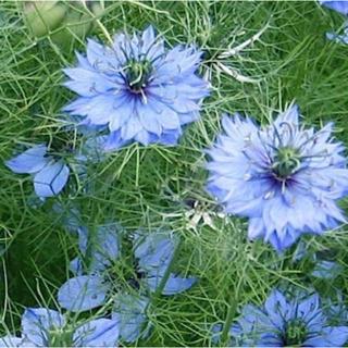 【今がまきどき!】秋まき種 ニゲラ100粒 ブルー(その他)