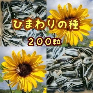 大きくそだつひまわりの種 200粒 ご希望あればおまけ種つき(その他)