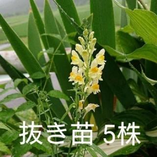リナリア ブルガリス 抜き苗5株(その他)
