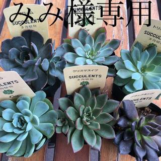 【みみ様専用】多肉植物(その他)