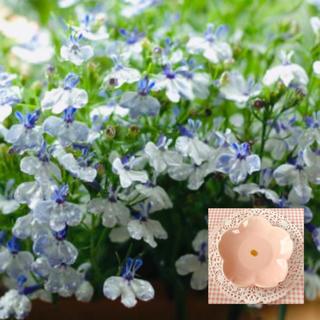 蝶が飛んでいるような花形♡『ロベリアリベエラブルースプラッシュ 花の種40粒(その他)