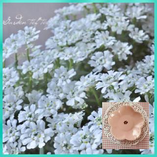 砂糖菓子のように愛らしい♡『イベリス』花の種10粒(その他)