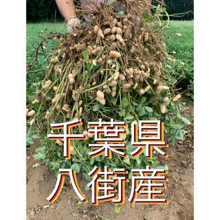 赤猫3様専用 10月2日収穫分 千葉県八街産おおまさり2キロ(梱包資材込み)(野菜)