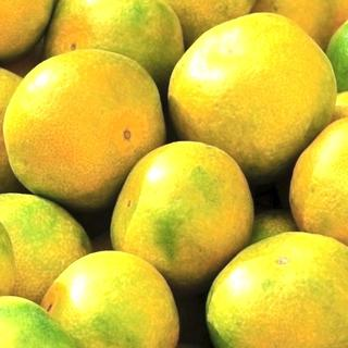 【極早生みかん 2キロ 山北みかん】★蜜柑★傷有無混合★果物★フルーツ★柑橘類(フルーツ)