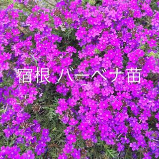 宿根バーベナ 苗 挿し穂沢山 紫色(その他)