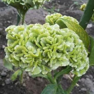 ケイトウのたね30粒  スプリンググリーン☆マリーゴールドバニラの種10粒(その他)