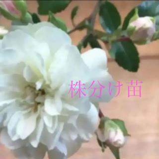 ①取り置き(ᵔᴥᵔ)グリーンアイス♡株分け苗♡ホワイトガーデン♡ベランダ♡(その他)