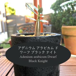 アデニウム アラビカム ドワーフ ブラック ナイト(その他)