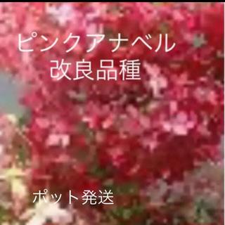 ★数量限定★ピンクのアナベル2!!★ピンクアナベル改良品種★(その他)