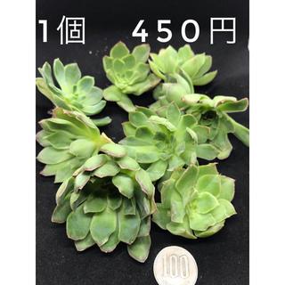 【限定8個】多肉植物 パープルシート 1個450円(その他)