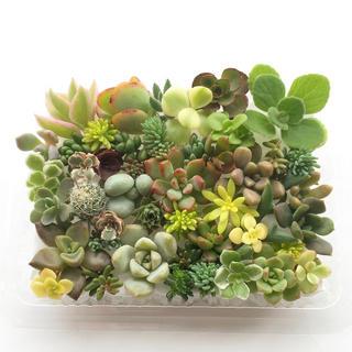 多肉植物 セダム⭐︎その他カット苗パック 15種類以上 j(その他)