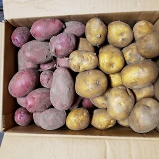 パグゾウ様専用 インカのめざめ レッドムーン 60サイズ(野菜)