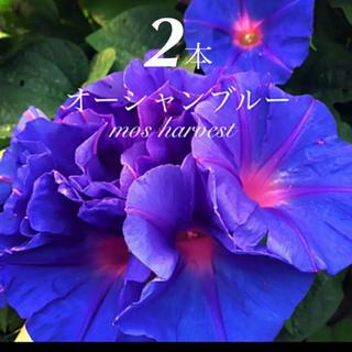 2苗◆琉球朝顔◆オーシャンブルー◆ちゅらブルー◆【発根元気な苗】(その他)