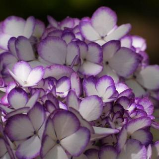 紫陽花の苗(その他)