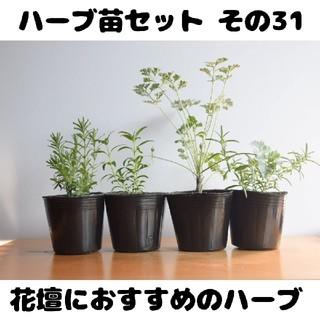 ハーブ苗セット その31 花壇におすすめのハーブ 要望対応可!(プランター)