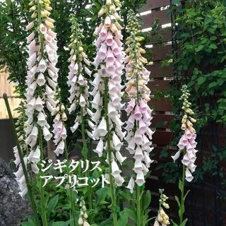 今がまき時 秋まき花の種 「ジギタリス・アプリコット」の種を100粒(その他)