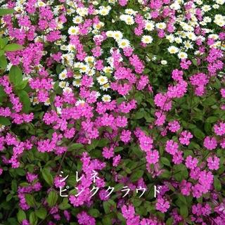 今がまき時 秋まき花の種 シレネ・ピンククラウドを50粒(その他)