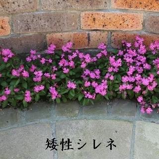 今がまき時 秋蒔き花の種  矮性シレネを50粒(その他)