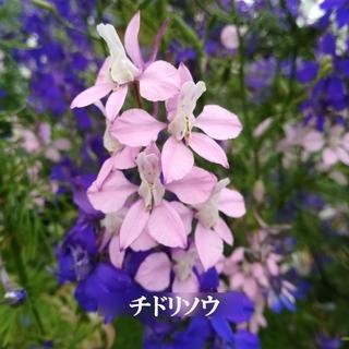 寒冷地の春まき花の種 「チドリソウ」3色混合種50粒(その他)