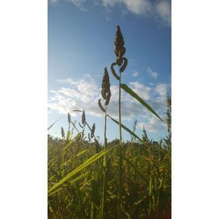 ことり用 ひえ穂 200g 化学肥料・農薬不使用栽培 北海道から送料込み(鳥)