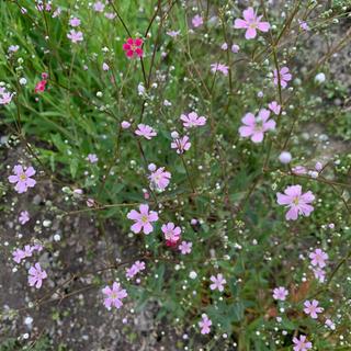 かすみ草種 ピンクと白色各200粒 計400粒以上(その他)