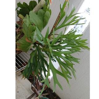希少 ビカクシダ Kitsha kood smail leaf(その他)